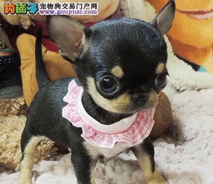 南宁正规狗场出售霸气外露顶级品质的吉娃娃幼犬