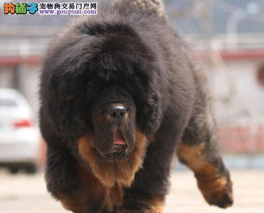 异常凶猛怪兽血系的藏獒幼崽热卖中 南宁市内可送货