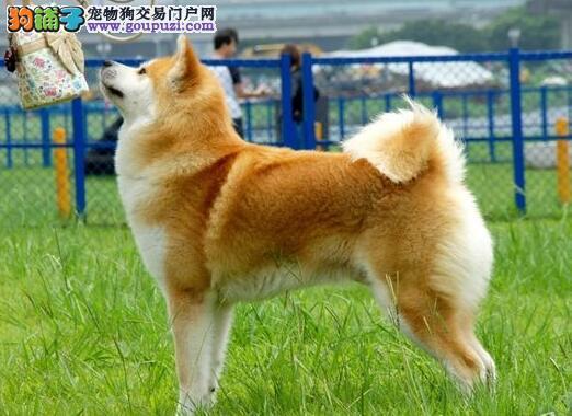 海口CKU认证犬舍出售日系美系秋田犬 疫苗均已做好