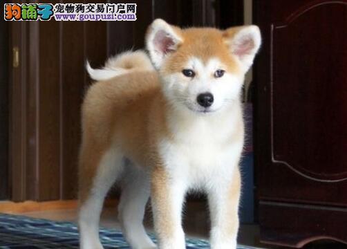 热卖秋田犬多只挑选视频看狗欢迎您的指导