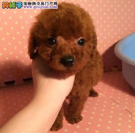 出售一窝纯种玩具型徐州泰迪犬 毛色火红非常漂亮