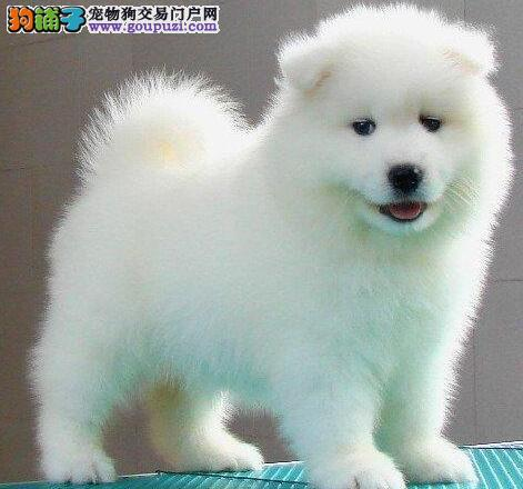 实体店促销高品质萨摩耶犬北京市内可上门看狗