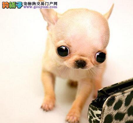 特价出售大眼睛超小体上海吉娃娃可接受预定