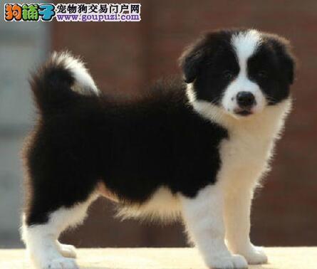 正规狗舍出售精品广州边境牧羊犬证书齐全