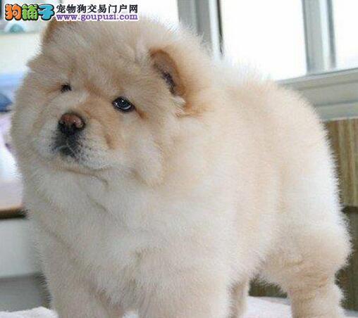 绝对的精品松狮出售幼犬