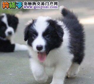 转让优秀武汉边境牧羊犬 七白到位全国可代办空运