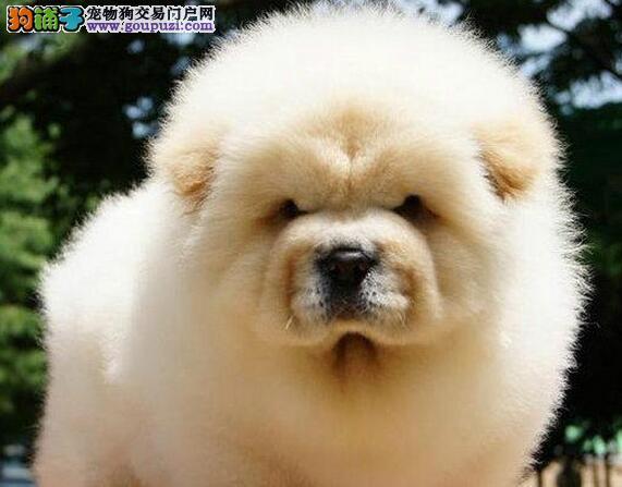 武汉本地犬舍出售健康松狮犬 大嘴紫舌欢迎购买
