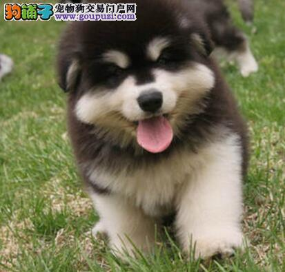 西安信誉狗场直销阿拉斯加雪橇犬 颜色多保证品质