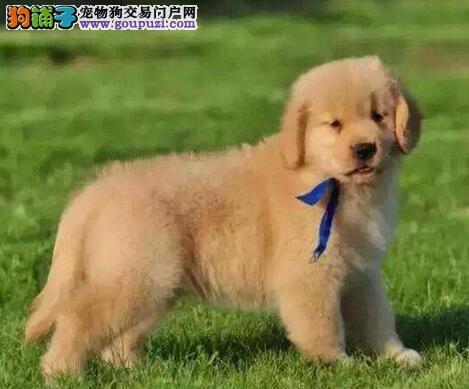 武汉实体犬舍出售大骨架金毛犬 有问题可包邮退换