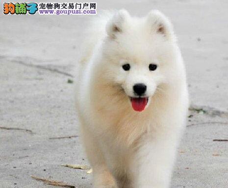 犬舍促销精品萨摩耶北京周边地区购买可送货