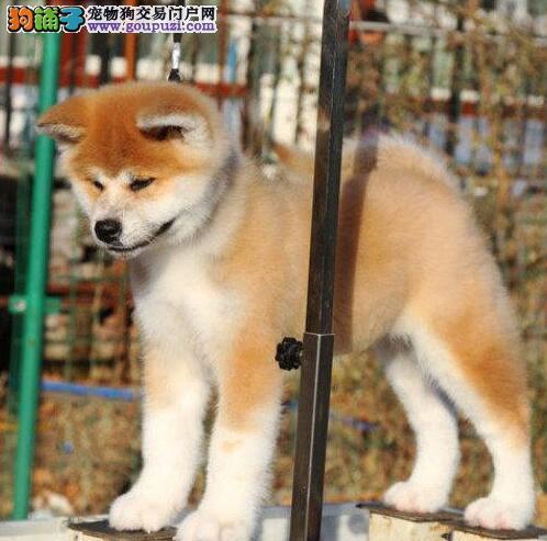 成都哪里有卖纯种的日系秋田犬?要正规养殖场