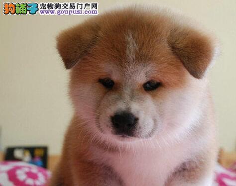 喀什狗场科学繁殖 纯种日系秋田犬幼犬狂热促销 可上门