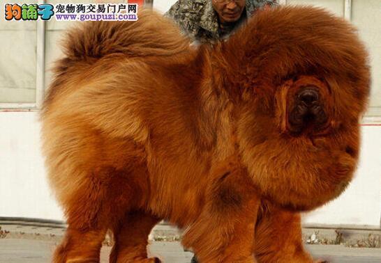 顶级优秀的纯种藏獒九江热卖中假一赔万签活体协议
