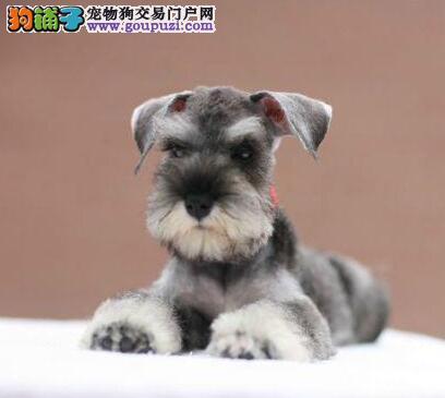 武汉狗场出售精品雪纳瑞 多只可选签订活体