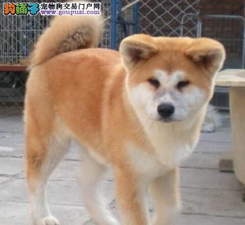 公母均有的石家庄秋田犬火爆热卖啦 可直接上门看狗