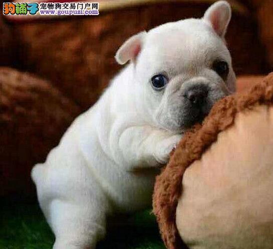 杭州养殖基地出售勇猛的斗牛犬 欢迎莅临犬舍参观