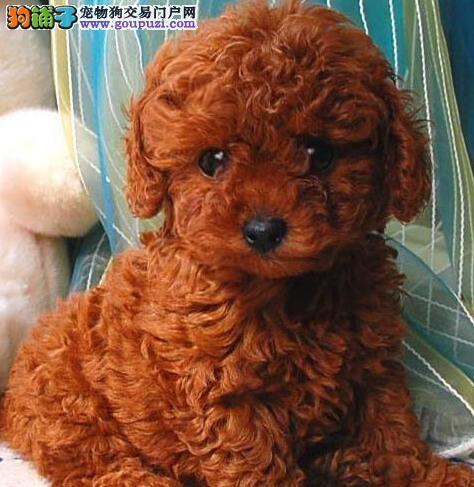活泼可爱的东莞泰迪犬出售 诚信为本信誉第一