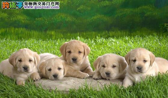 养殖基地直销精品杭州拉布拉多犬售后有保证签协议