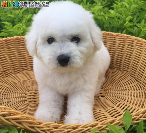 昆明狗场直销甜美脸型比熊犬 保证售后耐心服务