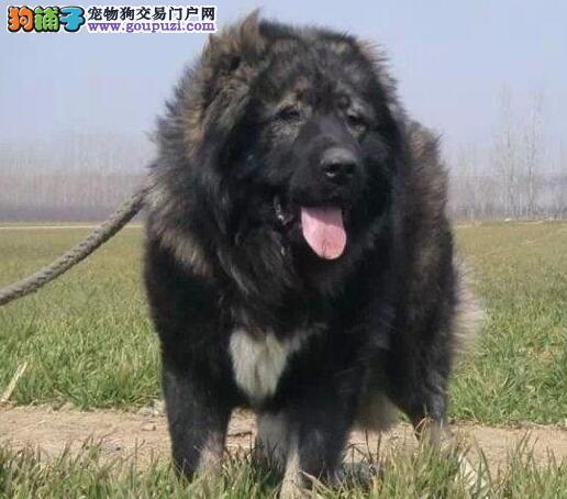 巨型高加索犬种之王 送赠品 厦门周边送货上门