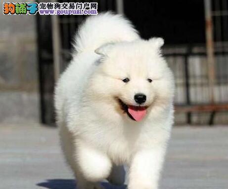 顶级血统纯种萨摩耶(Samoyed) 狗狗出售