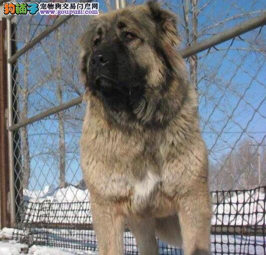 知名狗场出售大骨架黄浦高加索犬 信誉高品质有保证