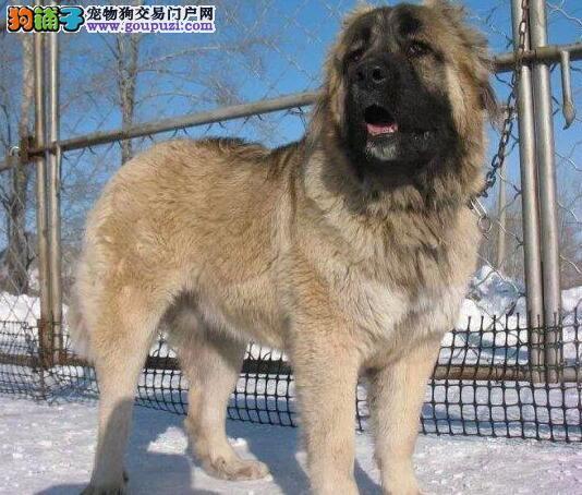 出售凶悍威猛 顶级高品质高加索幼犬质保三年