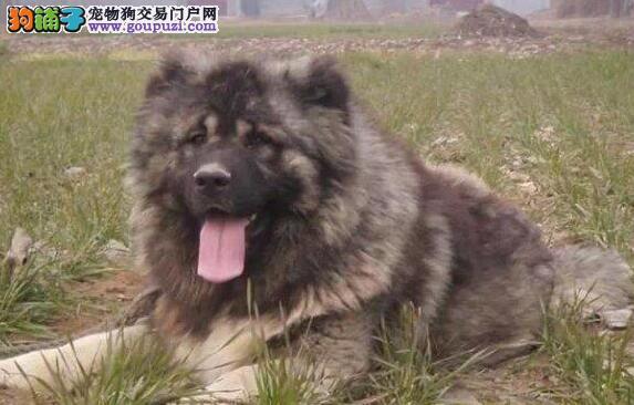 直销东莞骨骼粗毛量足的高加索犬 保品质保健康