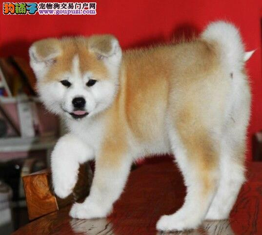 出售毛色纯正靓丽活泼的南昌秋田犬 可当面选购