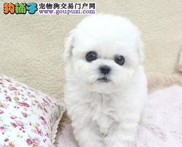 家养多只上海比熊犬促销纽扣眼品相好保健康