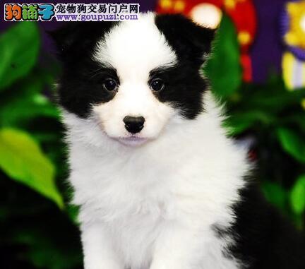 上海狗场直销高智商边境牧羊犬血统纯正包养活