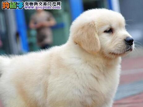 养殖场促销极品上海金毛犬品相好售后有保障