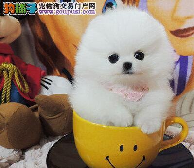 繁育基地出售精品博美犬上海地区购犬送用品