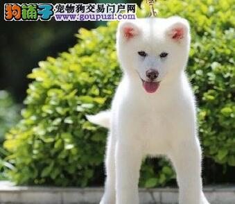顶级秋田犬宝宝,低价热销保健康,提供养护指导