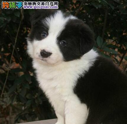 出售多种颜色海北州纯种边境牧羊犬幼犬品质一流三包终身协议