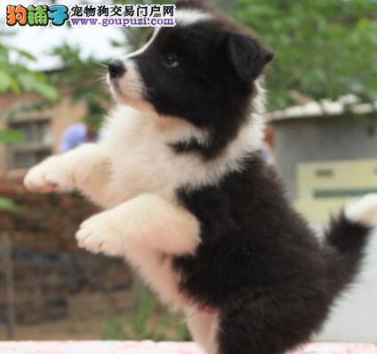 顶级优秀品质边境牧羊犬杭州自家狗场热销 欢迎购买