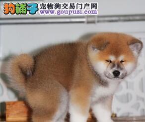 南通实体狗场出售毛色靓丽的秋田犬 纯日系血统