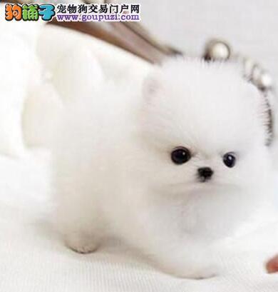出售超小体哈多利版昆明博美幼犬 终身质保完美售后