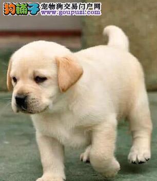 养殖基地直销精品郑州拉布拉多犬签订活体协议