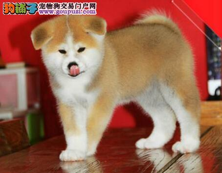 专业繁殖促销赛级品质昆明秋田犬保证质量