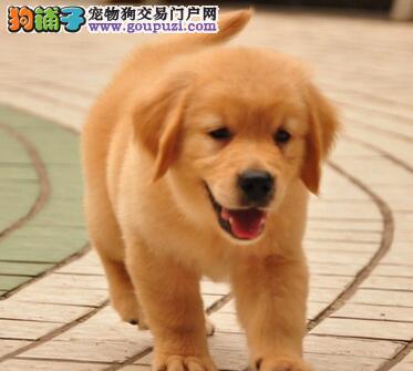 大型养殖场直销出售大骨架青岛金毛犬 有问题可退换