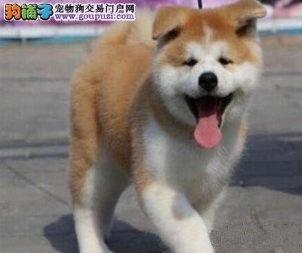 秋田犬营口专卖  日系美系随便挑 都是精挑细选 有狗证
