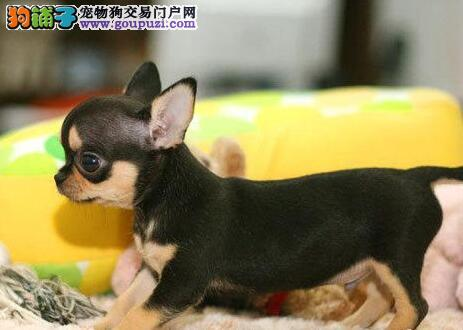 苹果头体型较小活泼的吉娃娃待售中 杭州朋友上门选购