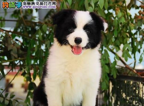 犬舍直销品种纯正健康重庆边境牧羊犬保终身送用品