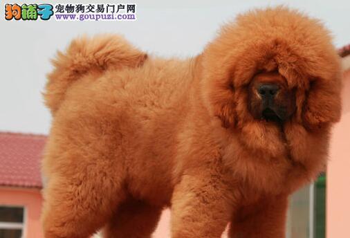 CKU犬舍认证出售高品质藏獒微信看狗真实照片包纯
