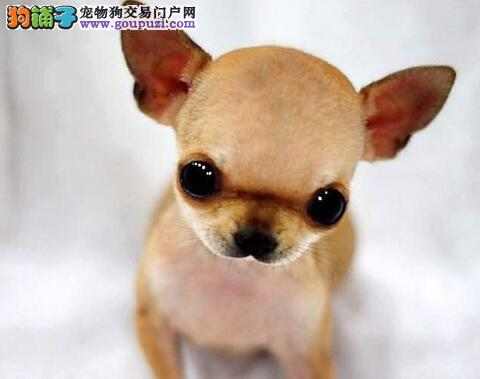 深圳哪里有卖吉娃娃 吉娃娃是小型狗好养吗 吉娃娃价格
