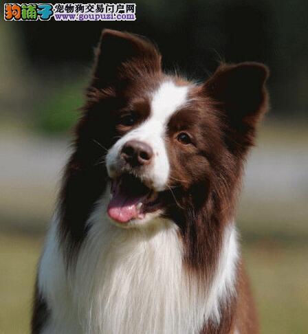 长沙正规犬舍直销转让边境牧羊犬 可来当地直接购买