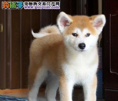 呼和浩特犬舍出售顶尖血系秋田犬 喜欢的朋友别错过