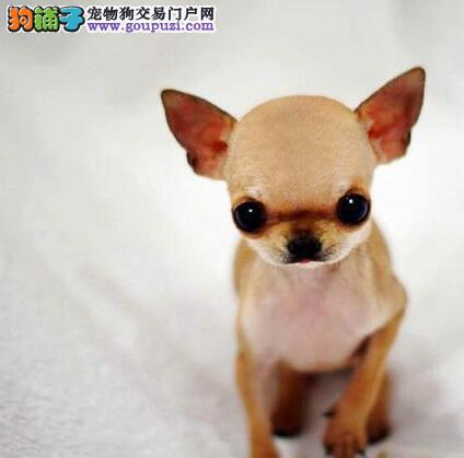 家庭繁殖的海口吉娃娃幼犬找新家 完善的售后服务