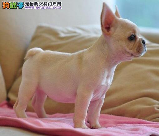 100%纯种健康的曲靖法国斗牛犬出售全国十佳犬舍